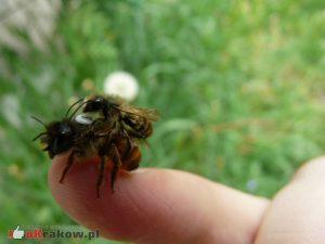 Samice pszczół samotnych nie żądlą w obronie gniazda. Jedynie w bezpośrednim zagrożeniu, złapana w rękę, samica może użądlić. fot.. Justyna Kierat