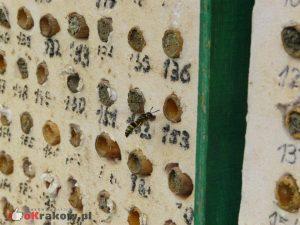 To osa, ale samotna. Prowadzi podobny tryb życia jak pszczoła murarka ogrodowa i, jak widać na zdjęciu, czasami zamieszkuje w hotelach dla samotnych owadów. Tak jak inne samotnice, nie żądli w obronie gniazda. fot. Justyna Kierat