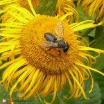 Pszczoły samotnice stanowią większość spośród gatunków dzikich pszczół. fot. Justyna Kierat