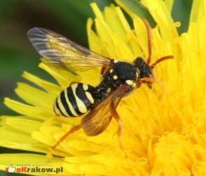 Koczownice wyglądają łudząco podobnie do os, jednak są pszczołami. Należą do ciekawej grupy pszczół kukułek, które podrzucają swoje jajeczka do gniazd pszczół samotnych. Można je spotkać w pobliżu kolonii samotnic. Podobnie jak one, nie atakują ludzi. Fot. S. Rae/Wikimedia Commons