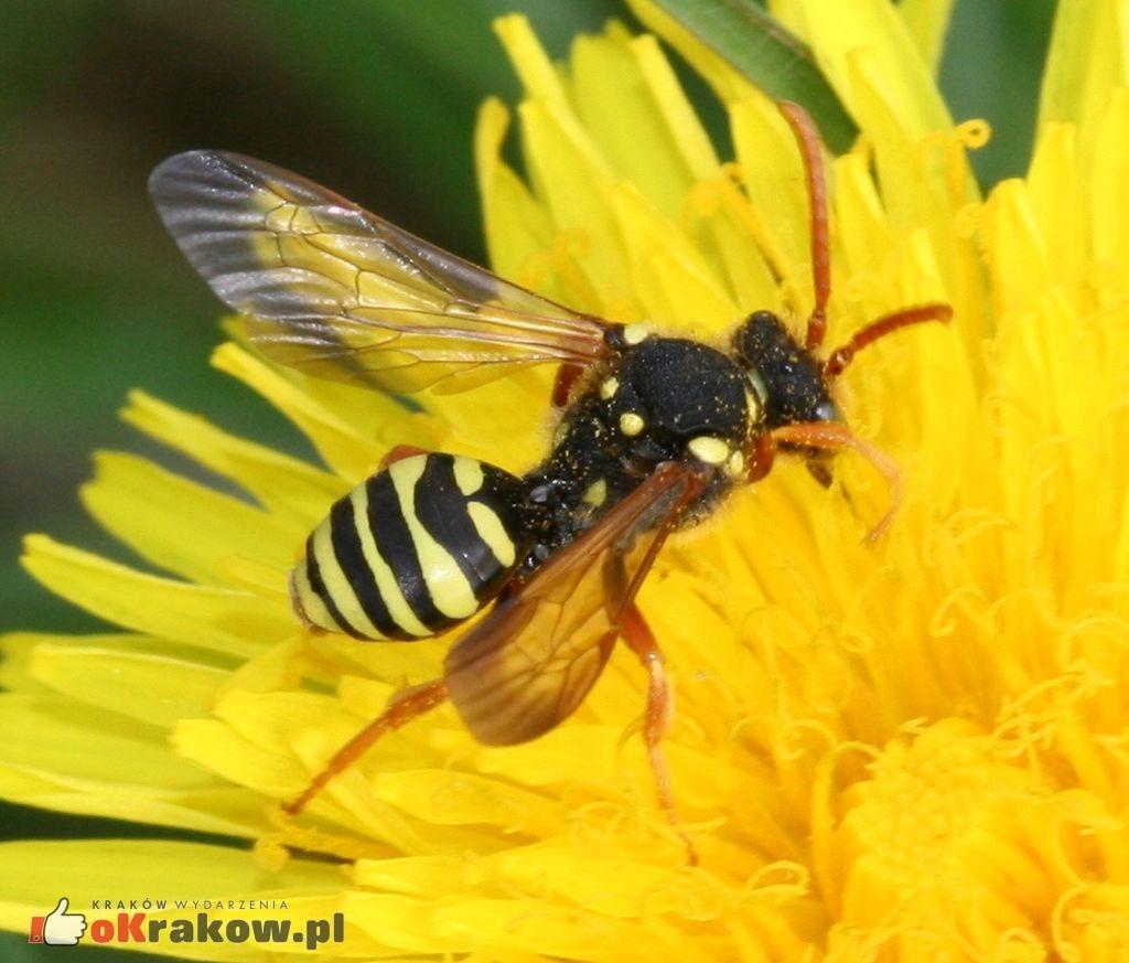 s rae wikimedia commons 300x256 - Jeżeli wyginą pszczoły, ludzkość będzie miała spore kłopoty...