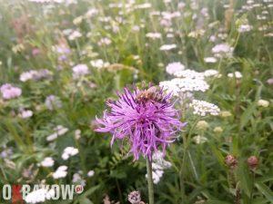 Pszczoła miodna na chabrze