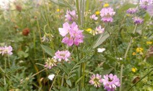 Cieciorka pstra – mieszkanka krakowskich łąk kwietnych