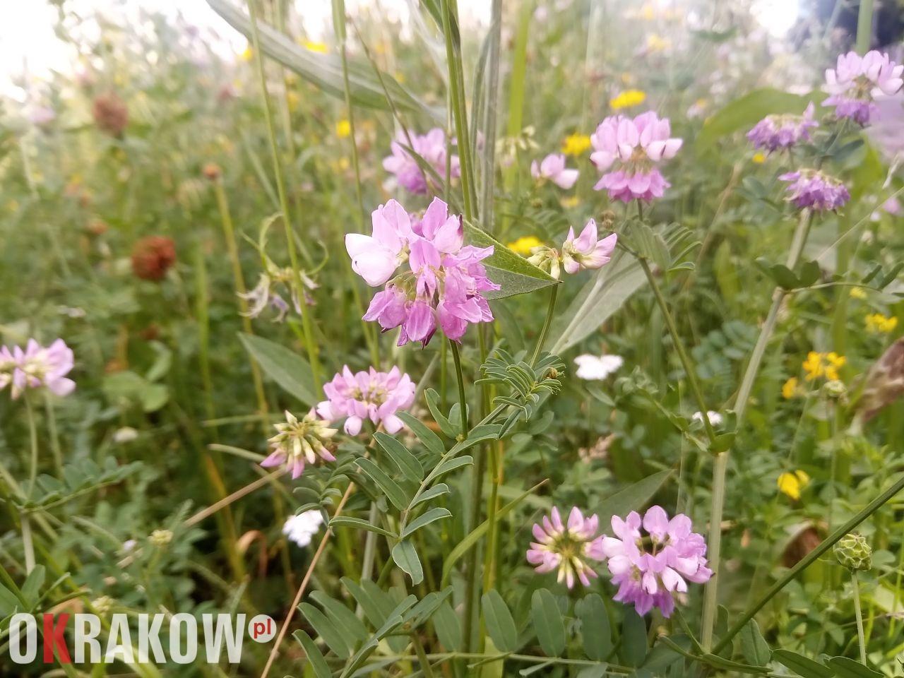 Rośliny, zwierzęta i my, czyli o krakowskich kwietnych łąkach