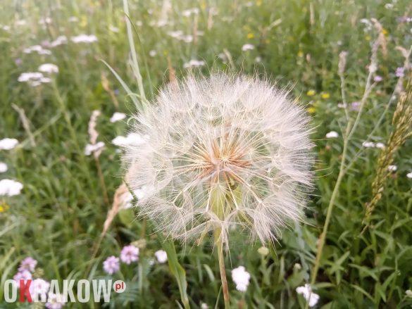 Kozibród łąkowy – jego opatrzone puchem nasiona czekają na wiatr