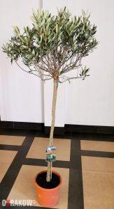 drzewo oliwne ktore przy sanktuarium sw. jana pawla ii posadzi abp marek jedraszewski 163x300 - Ogród oliwny i nabożeństwo Getsemani w sanktuarium Jana Pawła II