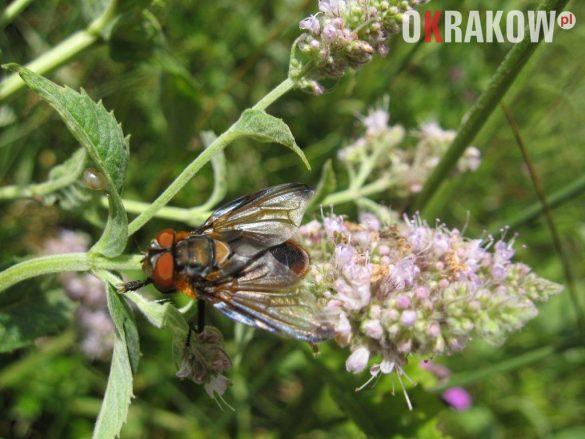 muchowka na kwiatostanie miety 1 585x439 - Z kupieckich szlaków na krakowskie balkony – o miododajnych ziołach i przyprawach
