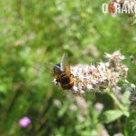 Muchówka na kwiatostanie mięty