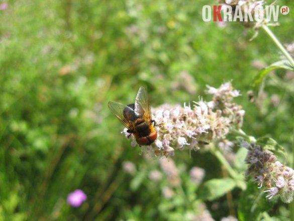 muchowka na kwiatostanie miety 2 585x439 - Z kupieckich szlaków na krakowskie balkony – o miododajnych ziołach i przyprawach