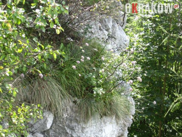 pachnaca kepa czosnku skalnego 585x439 - Z kupieckich szlaków na krakowskie balkony – o miododajnych ziołach i przyprawach