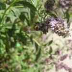 Pszczoła miodna na kwiatostanie mięty