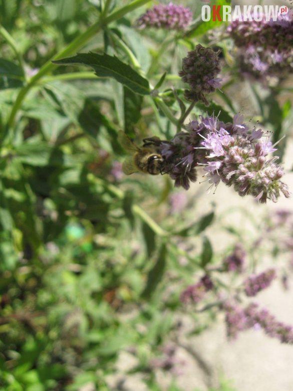 pszczola miodna na kwiatostanie miety 585x780 - Z kupieckich szlaków na krakowskie balkony – o miododajnych ziołach i przyprawach