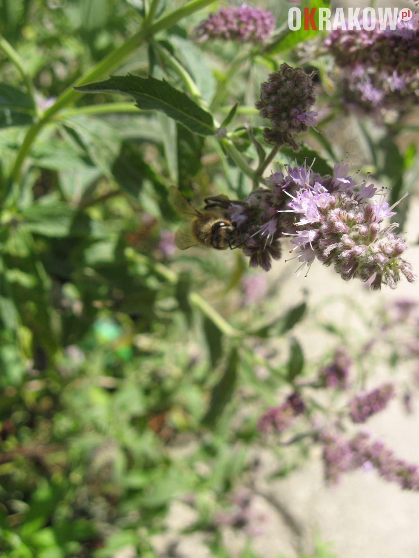 pszczola miodna na kwiatostanie miety 150x150 - Z kupieckich szlaków na krakowskie balkony – o miododajnych ziołach i przyprawach