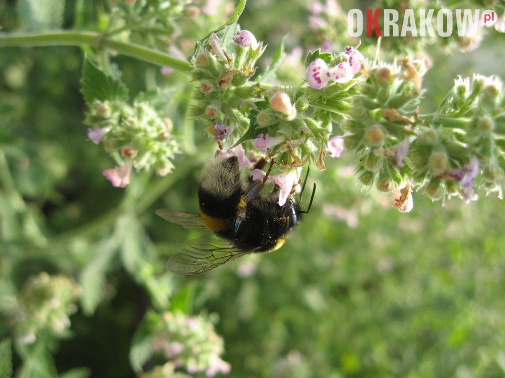 trzmiel na kwiatostanie melisy 300x225 - Z kupieckich szlaków na krakowskie balkony – o miododajnych ziołach i przyprawach